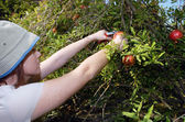 Israeli Farmers are Picking up Pomegranates — Stock Photo