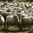 Travel New Zealand - Sheep Farm — Stock Photo