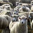 Travel New Zealand - Sheep Farm — Foto Stock