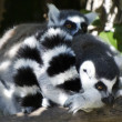 Wildlife and Animals - Lemur - Stock Photo