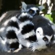 Wildlife and Animals - Lemur — 图库照片