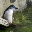 Wildlife and Animals - Blue Penguin — Stock Photo