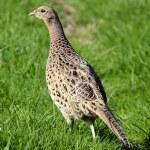 Wildlife Photos - Common Hen Pheasant — Stock Photo