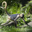 Wildlife and Animals - Spider Monkey - Stock Photo
