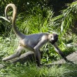 Wildlife and Animals - Spider Monkey — Stock Photo #10943102
