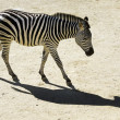 Wildlife and Animals - Zebra - Foto Stock
