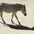 Wildlife and Animals - Zebra - Stockfoto