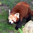 Wildlife and Animals - Red Panda - Stock Photo
