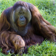 Wildlife and Animals - Orangutan -  