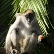 Wildlife and Animals - Spider Monkey — Stock Photo