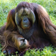 Wildlife and Animals - Orangutan - Stock Photo