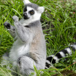 Wildlife and Animals - Lemur — Foto Stock