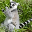 Wildlife and Animals - Lemur — Stockfoto