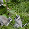 Wildlife and Animals - Lemur — Stock Photo