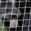 Wildlife and Animals - Siamang Gibbon — Stok fotoğraf