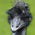 Wildlife and Animals - Emu — Stock Photo