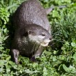Wildlife and Animals - Otter — Stock Photo #10943533