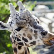 Wildlife and Animals - Giraffe — Stock Photo