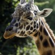 Wildlife and Animals - Giraffe — Stock Photo #10943544