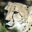 Постер, плакат: Wildlife and Animals Cheetah
