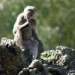 Wildlife and Animals - Baboon — Stock Photo #10945120