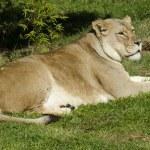 Wildlife and Animals - Lions — Stock Photo #10945148