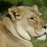 Wildlife and Animals - Lions — Stock Photo #10945149