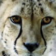 Stock Photo: Wildlife and Animals - Cheetah