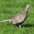 Wildlife Photos - Common Hen Pheasant — Stock Photo #10945235