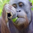 Wildlife and Animals - Orangutan — Stock Photo