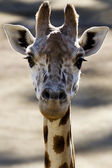 Wildlife and Animals - Giraffe — Stock Photo