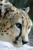 Wildlife and Animals - Cheetah — Stock Photo