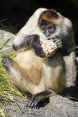 Wildlife and Animals - Spider Monkey — Stock Photo