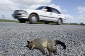 Wildlife and Animals - Possum — Stock Photo
