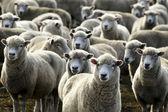 Travel New Zealand - Sheep Farm — Stock Photo