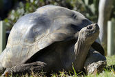 Wildlife and Animals - Galapagos Tortoises — Stock Photo