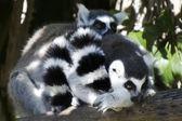 Wildlife and Animals - Lemur — Stock Photo