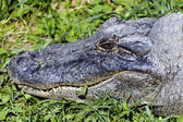 Wildlife and Animals - Crocodile — Stock Photo