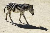 Wildlife and Animals - Zebra — Stock Photo
