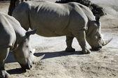 Przyrody i zwierząt - nosorożec — Zdjęcie stockowe