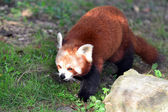 Wildlife and Animals - Red Panda — Stock Photo