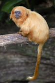 Wildlife and Animals - Golden Lion Tamarin — Stock Photo