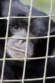 Wildlife and Animals - Siamang Gibbon — Stock Photo