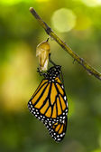 Monarch Butterfly Birth — Stock Photo