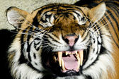 Wildlife and Animals - Tiger — Stock Photo