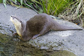 Wildlife and Animals - Otter — Stock Photo