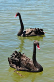 Wildlife and Animals - Black Swan — Stock Photo