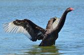 Przyrody i zwierząt - czarny łabędź — Zdjęcie stockowe