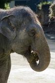 野生动物保护和动物-大象 — 图库照片
