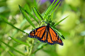 Wildlife and Animals - Butterflies — Stock Photo